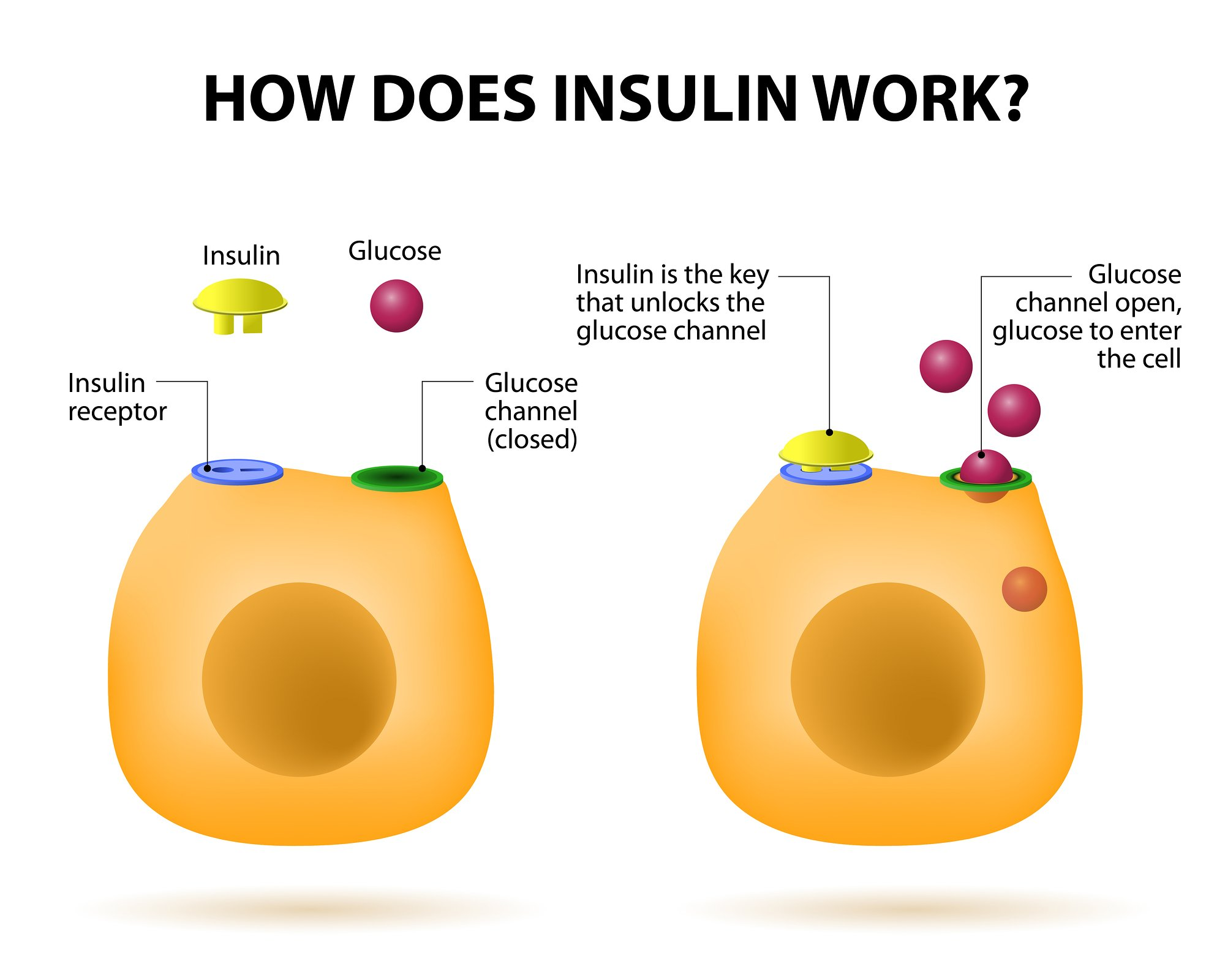 how-does-insulin-work