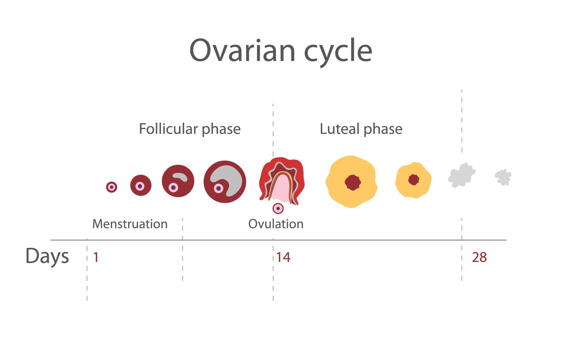 Ovarian Cycle